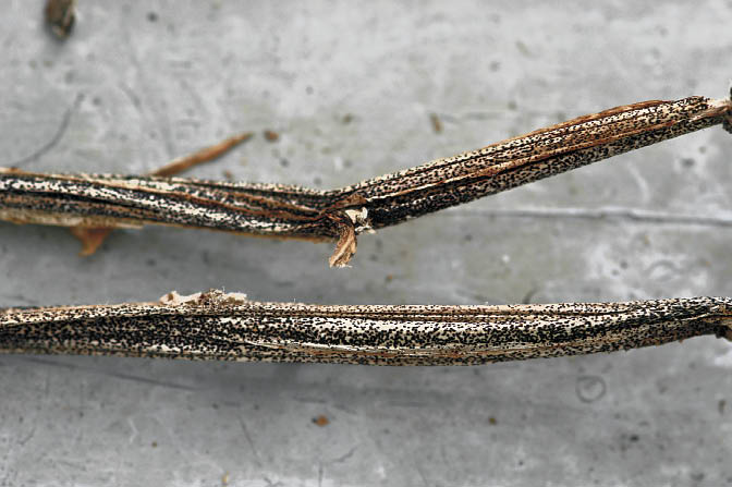 Figure 1: Black dot Sclerotia on dead potato stems