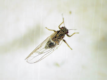 Potato Psyllid adult