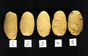Five russets are compared side-by-side for symtoms of shatter bruise