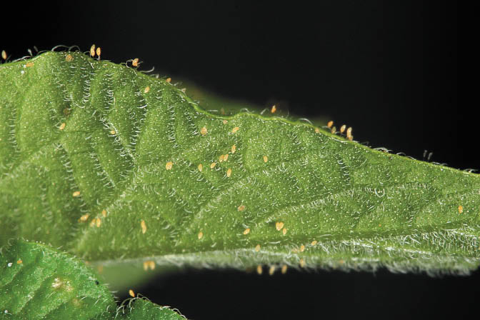 Potato Psyllid eggs