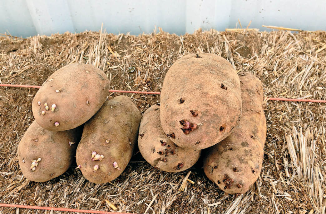 Treated versus untreated potatoes