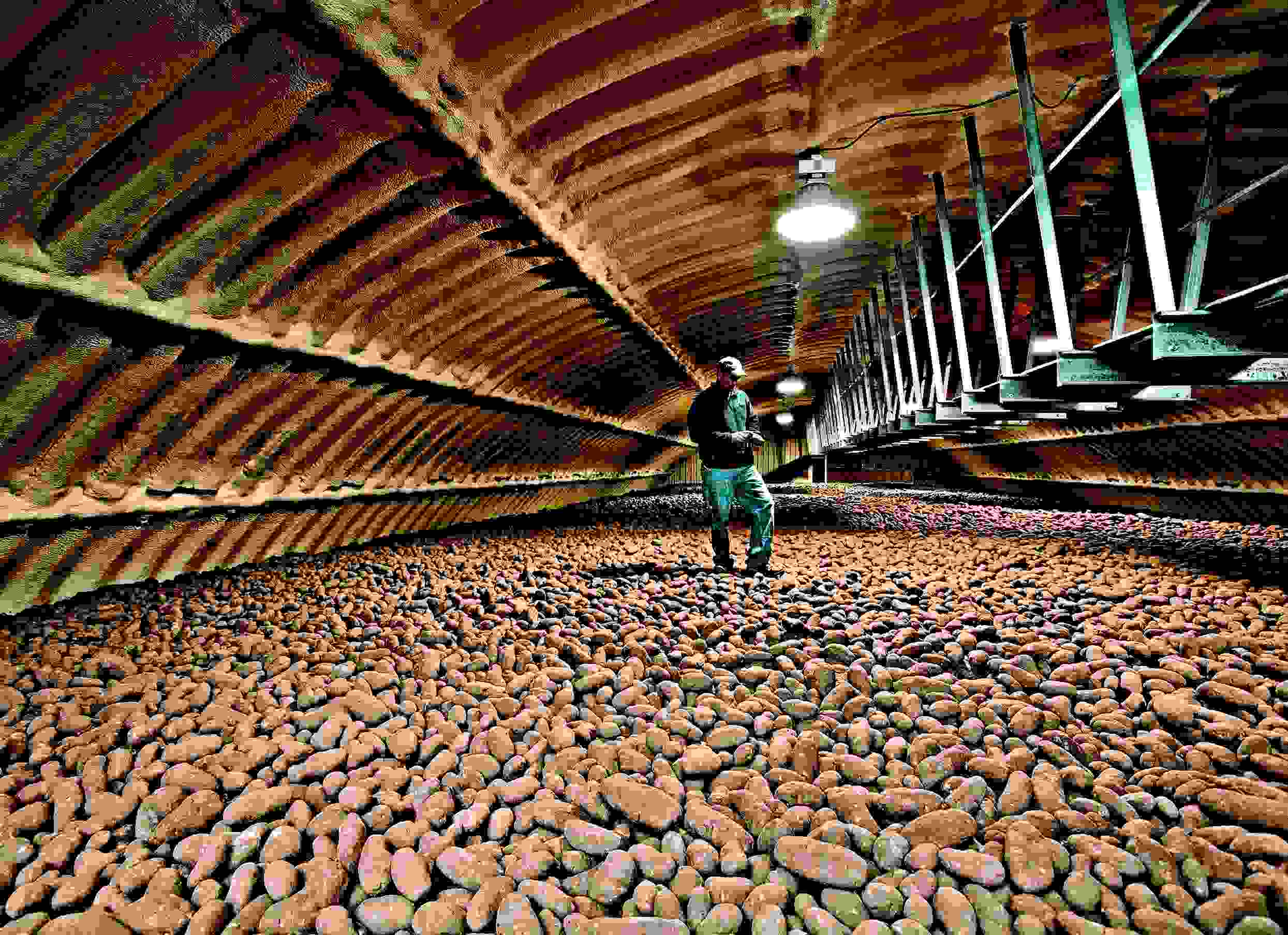 Genial OAA As Protection For Stored Potatoes