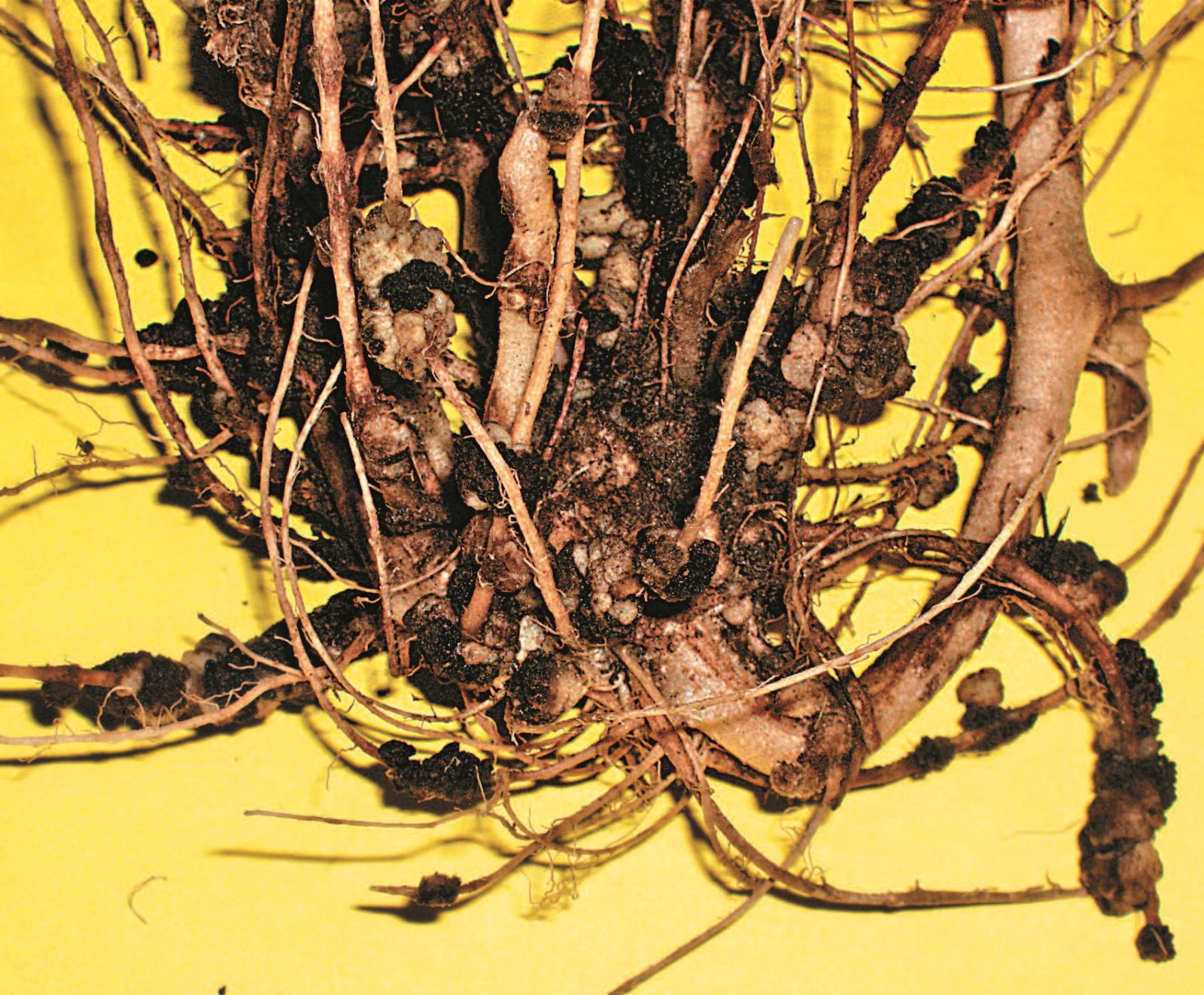 A Growing Threat? Potato mop top virus and its growing importance in